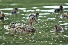 Mutter-Ente und Entlein Stockfoto