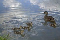 Mutter-Ente und Entlein lizenzfreie stockfotografie