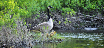 Mutter Goose ll stockfoto