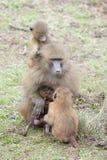 Mutter Guinea-Pavians (Papio Papio) mit Baby Lizenzfreie Stockfotos