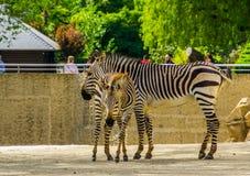Mutter hartmanns Zebra mit Fohlen im Tierzoo von Antwerpen, Antwerpen, Belgien, am 23. April 2019 lizenzfreie stockfotos