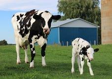 Mutter Holstein mit ihrem nagelneuen Kalb in der Wiese stockbilder