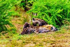 Mutter-Hyäne mit zwei jungen Hyänen in Nationalpark Kruger Stockbild