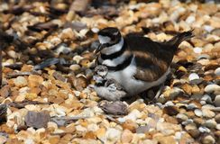 Mutter Killdeer Stockfotos
