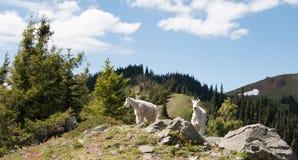 Mutter-Kindermädchen Goats auf Hurrikan-Hügel im olympischen Nationalpark in Washington State Stockfotos