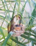 Mutter-Kolibri, der ihre Neugeborenen einzieht Lizenzfreie Stockbilder