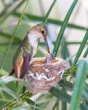 Mutter-Kolibri, der ihre Neugeborenen einzieht Stockbilder