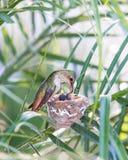 Mutter-Kolibri, der ihre Neugeborenen einzieht Lizenzfreie Stockfotografie