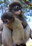 Mutter Langur-Primas-Affe mit ihrem Knaben an einem offenen Konserven-Schongebiet in Südostasien Lizenzfreies Stockfoto