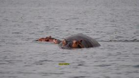 Mutter-Nilpferd mit einem kleinen Kalb im Wasser von Teich in Afrika-Reserve stock video