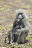 Mutter Olive Baboons (Papio anubis) mit Jungen Lizenzfreie Stockfotos