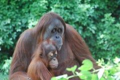 Mutter-Orang-Utan, der zum Kind liest Lizenzfreie Stockbilder