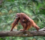 Mutter orangutang, das mit seinem Baby geht Lizenzfreie Stockfotografie