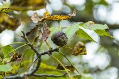Mutter på träd Fotografering för Bildbyråer