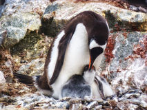 Mutter-Pinguin, der ihre Junge einzieht Stockfoto