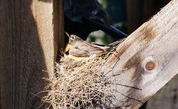 Mutter Robin und Schätzchen stockfotos