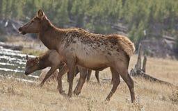 Mutter, Schätzchen-Elch, Yellowstone-Park, WY lizenzfreie stockfotografie