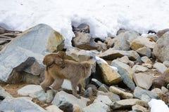 Mutter-Schnee-Affe, der an Bord mit Baby reist Stockfotografie