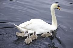 Mutter-Schwan mit vier Cygnets stockfotos