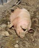 Mutter-Schwein Stockfoto