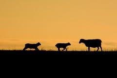 Mutter Sheep und Lämmer Lizenzfreies Stockbild
