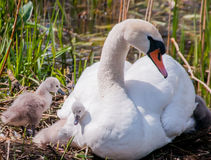 Mutter Swan Stockfotos