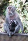 Mutter und Baby albern im heiligen Affe-Wald Ubud auf Bali herum Stockfoto