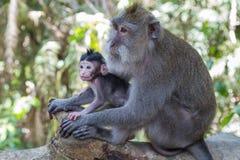 Mutter und Baby albern im heiligen Affe-Wald Ubud auf Bali herum Lizenzfreies Stockfoto