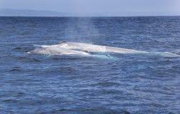 Mutter-und Baby-Blauwale Lizenzfreie Stockbilder