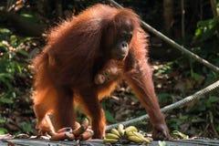 Mutter und Baby Bornean-Orang-Utan ( Pongo pygmaeus) , Semenggoh-Schongebiet, Borneo Stockbilder