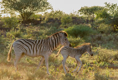 Mutter und Baby Burchells Zebra Lizenzfreie Stockfotos
