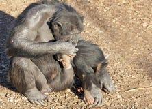 Mutter und Baby Chimpazee Stockfotografie