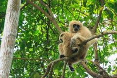 Mutter und Baby des weiß-übergebenen Gibbons, der auf dem Baum sitzt Lizenzfreies Stockfoto