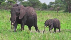 Mutter-und Baby-Elefant stock video