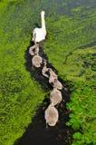 Mutter-und Baby-Enten in Kinderdijk, die Niederlande Lizenzfreies Stockbild