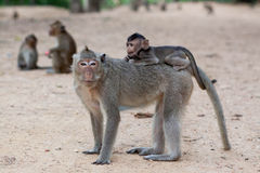 Mutter und Baby monky Lizenzfreies Stockfoto