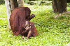Mutter und Baby Oerang Oetan Stockbilder