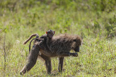 Mutter-und Baby-Pavian-Affe im Serengeti Stockbild