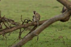 Mutter und Baby vervet Affen, die in einem Baum sitzen Stockfotos