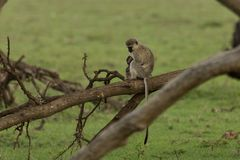 Mutter und Baby vervet Affen, die in einem Baum sitzen Lizenzfreie Stockbilder