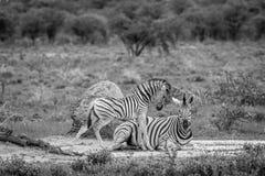Mutter-und Baby Zebra im Gras Lizenzfreies Stockbild