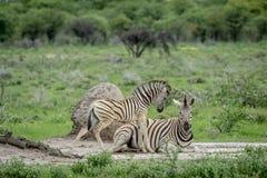 Mutter-und Baby Zebra im Gras Stockfoto