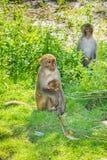 Mutter- und Babyaffe umarmt Familie in einem Dschungel Stockfoto