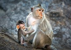 Mutter- und Babyaffen im wilden Lizenzfreie Stockfotografie