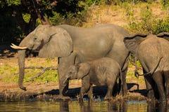 Mutter- und Babyelefant, der Chobe Botswana trinkt Lizenzfreie Stockfotos