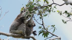 Mutter- und Babykoala, der am Kap otway in Victoria einzieht stock video footage