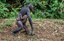 Mutter und CUB von Bonobo Stockfoto