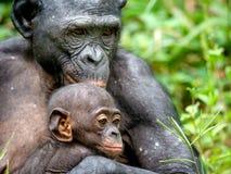 Mutter und CUB von Bonobo Grüner natürlicher Hintergrund Lizenzfreie Stockfotografie