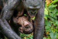 Mutter und CUB von Bonobo im natürlichen Lebensraum Lizenzfreies Stockbild