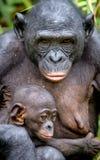 Mutter und CUB von Bonobo im natürlichen Lebensraum Schließen Sie herauf Portrait Grüner natürlicher Hintergrund Das Bonobo-Pan-p Lizenzfreie Stockbilder